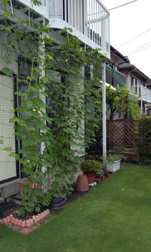お隣さんも、ゴーヤーのグリーンカーテンを作っています。